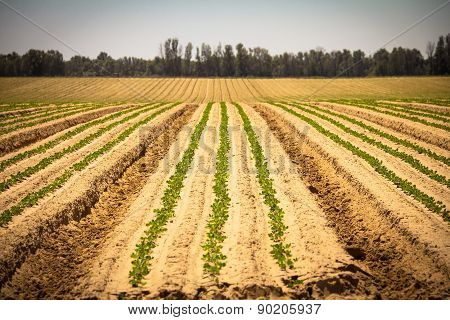 Fresh Sprouts In A Vast Field  Under The Bright Sky. Spring Pastoral Rural Landscape