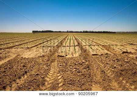 Fresh Sprouts In A Vast Field  Under The Bright Sky