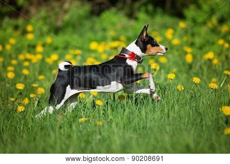 tricolor basenji puppy
