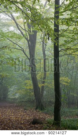Old Hornbeam Tree Over Path In Mist