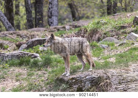 Coyote in a forest environment