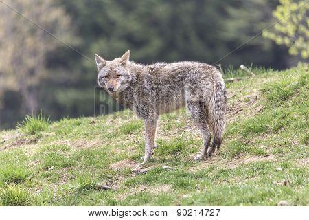 A lone coyote