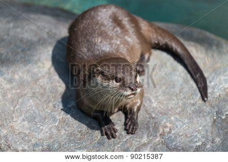 Cute River Otter