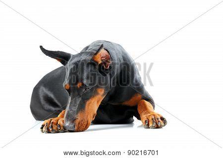 Lying dobermann pinscher looking sad