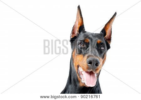 Portrait of dobermann pinscher with opened mouth
