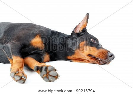 Dobermann pinscher lying on isolated background