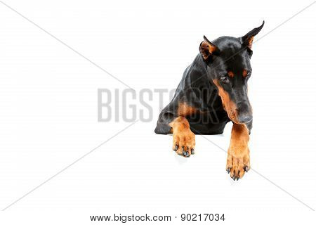 Top view of sad doberman pinscher.