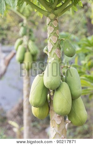 Bunch of Green Papaya on Papaya Tree