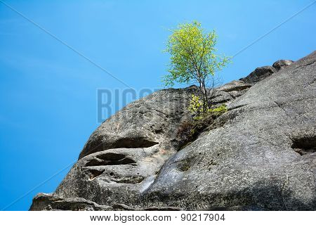Lonely Birch Tree Growing On Top Of The Rock