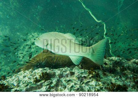 Grouper swimming
