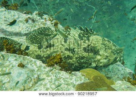 Grouper on a rock