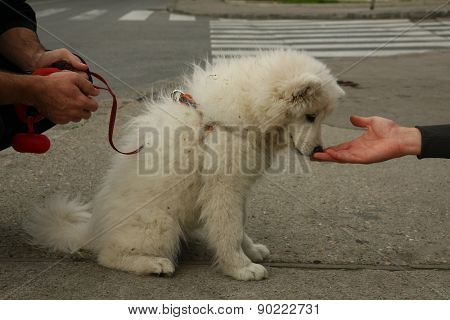 Puppy of Samoyed
