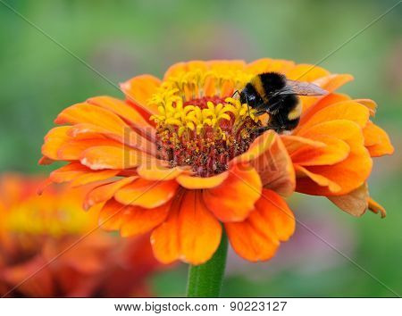 Bumblebee On The Flower Of Zinnia