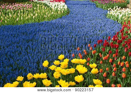 Field Of Tulips.