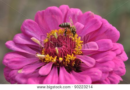 Bee On A Flower Of Zinnia
