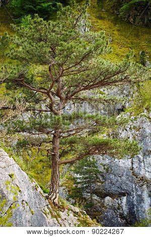 Pinus Nigra On Mountains Peak