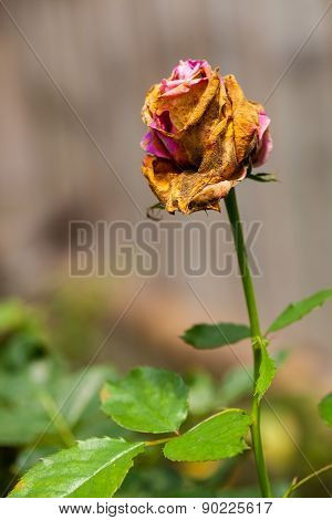 Single Wilted Flower dead and dry for background