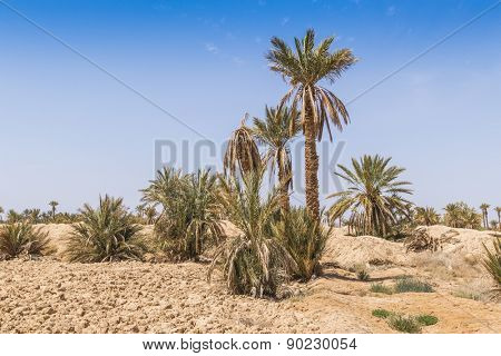 Tafilalt oasis in Morocco - date palm trees