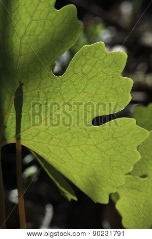 Backlit Leaf Veins Of Bloodroot
