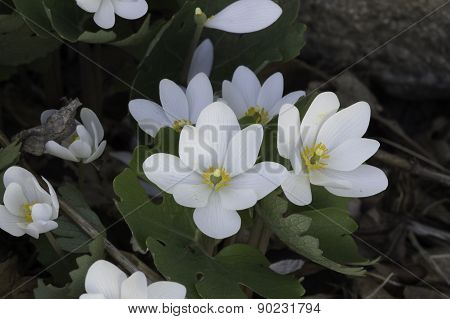 Bloodroot  Sanguinaria Canadensis Flowers