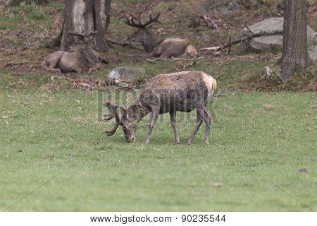 Male deer feeding in a field