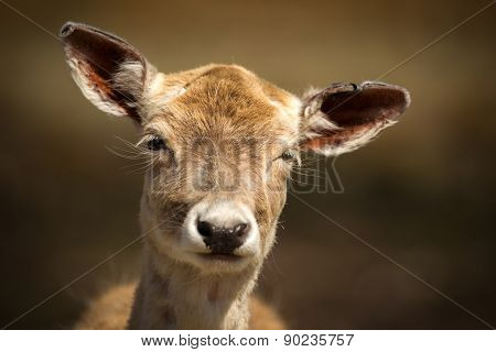 Close Up Of Cute, Young Baby Deer With Funny Expression