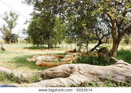 Pride of lions sleeping under shade