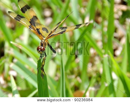 Posing Halloween Pennant Dragonfly