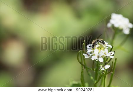 White Phlox Flowers with Bee Insect. Possibly White Dames Rocket Wildflowers.