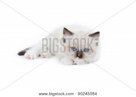 Cute Ragdoll Kitten
