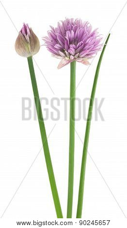 Chive  Flower