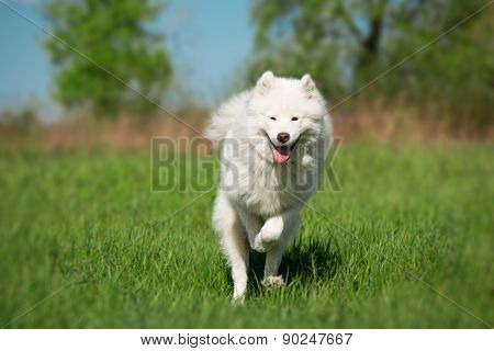 Samoyed dog running on the green grass