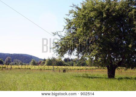 Apple Tree Vineyard