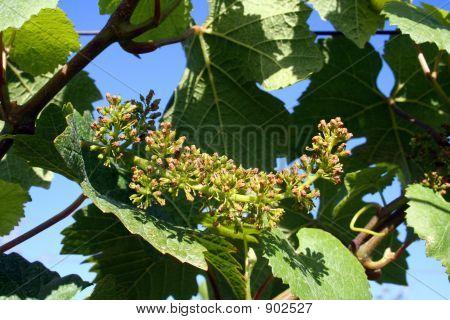 Budding Grape Cluster