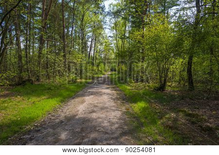 Footpath through a pine forest in spring