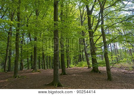 Sunny foliage of a beech forest in spring
