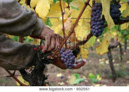 Man Harvesting Grapes