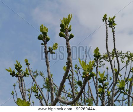 A fig tree in spring