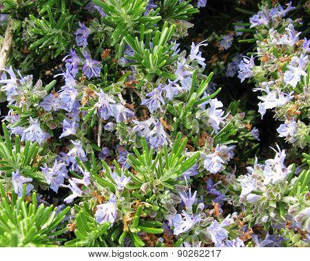 Blue flowering rosemary