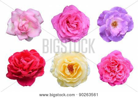 collage of Roses flowers (Rosa multiflora) is isolated white background