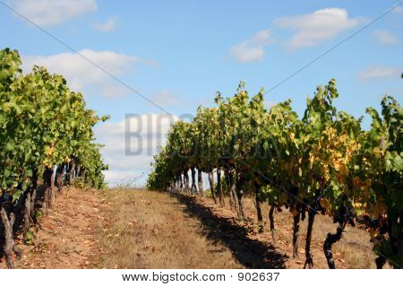 Vineyard Rows On Top Of A Hill