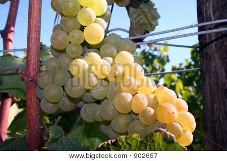Light Shining On Chardonnay Grapes