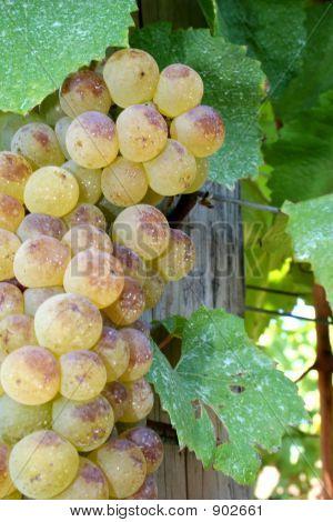 Ripe Chardonnay Grapes
