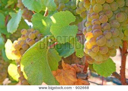 Reif Chardonnay-Trauben
