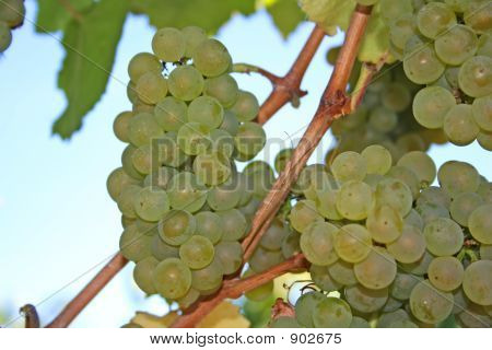 Ripe Green Wine Grapes In Autumn