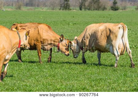 Jersey Cattle On A Field