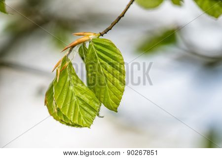 Beech Leaves On A Twig