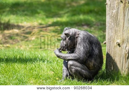 Old Chimp Eating Fruit