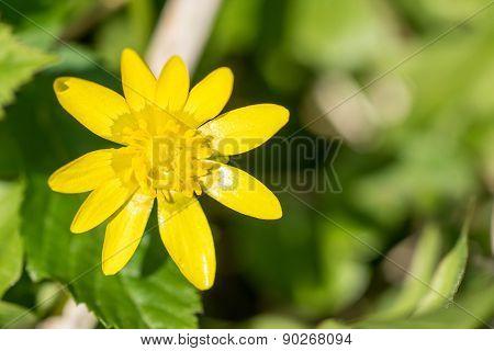 Buttercup Flower Close-up