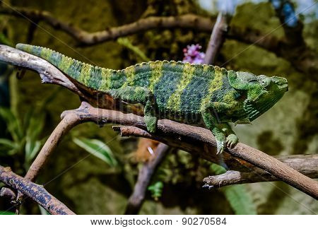 Meller's Chameleon On A Branch